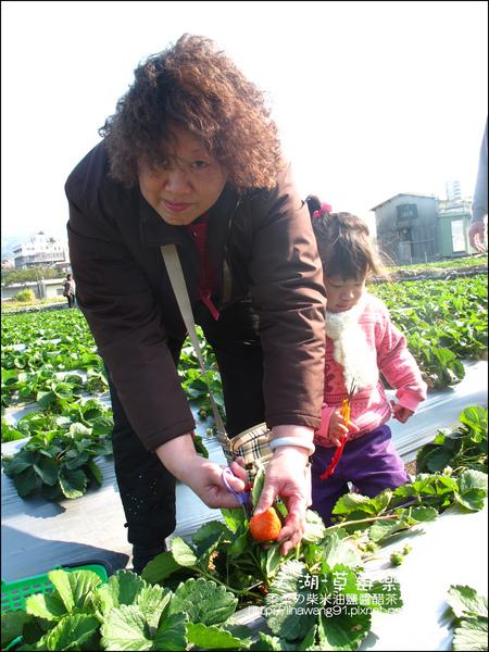 2011-0102-大湖採草莓 (16).jpg