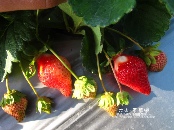 2011-0102-大湖採草莓 (2).jpg