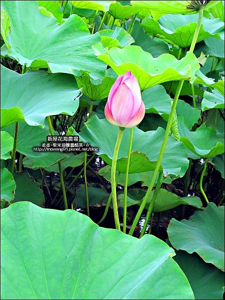 2010-0620-新屋花海農場 (16).jpg