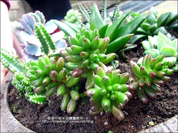 2011-0314-仙人掌組合盆栽 (5).jpg
