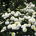 2010-1114-2010-銅鑼-杭菊芋頭節 (26).jpg