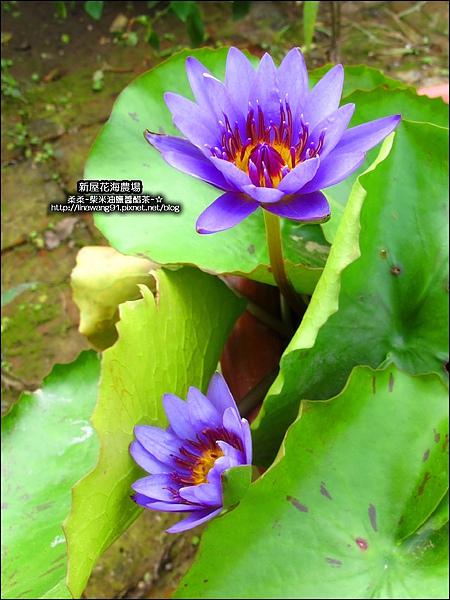 2010-0620-新屋花海農場 (18).jpg