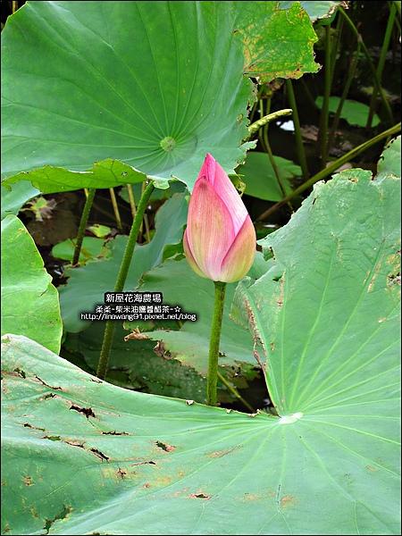 2010-0620-新屋花海農場 (15).jpg