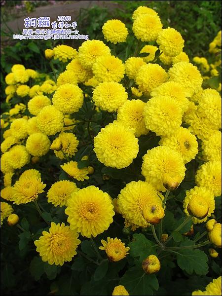 2010-1114-2010-銅鑼-杭菊芋頭節 (25).jpg