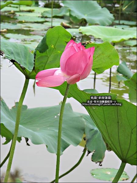 2010-0620-新屋蓮園 (13).jpg