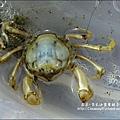 2010-0531-香山濕地-沼潮蟹與螺 (1).jpg