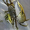 2010-0531-香山濕地-沼潮蟹與螺 (2).jpg
