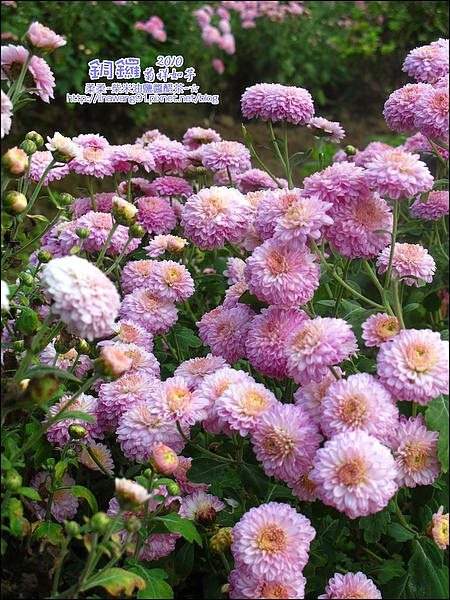 2010-1114-2010-銅鑼-杭菊芋頭節 (18).jpg