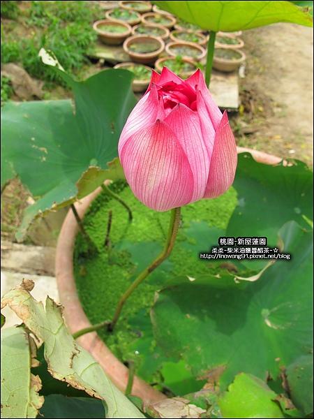 2010-0620-新屋蓮園 (31).jpg