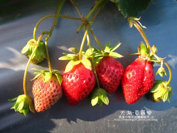 2011-0102-大湖採草莓.jpg