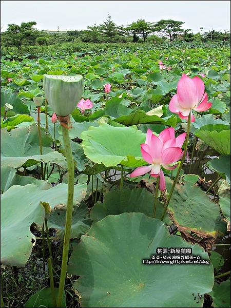 2010-0620-新屋蓮園 (12).jpg