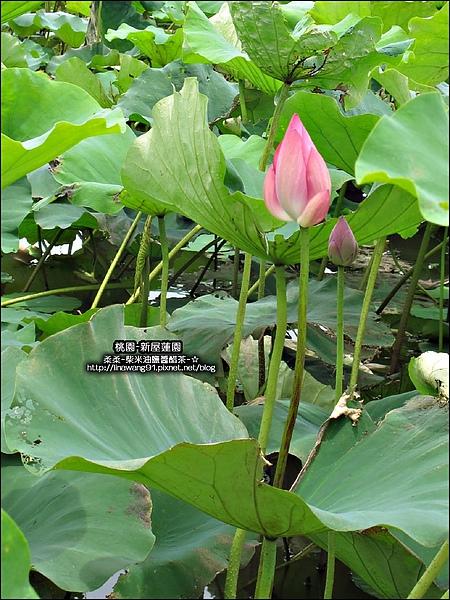2010-0620-新屋蓮園 (14).jpg