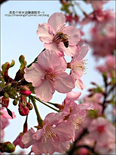 2011-0223-新竹公園-賞櫻花 (12).jpg