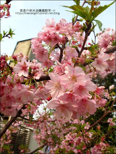 2011-0223-新竹公園-賞櫻花 (6).jpg