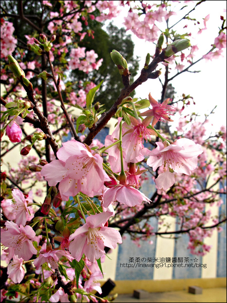 2011-0223-新竹公園-賞櫻花 (21).jpg