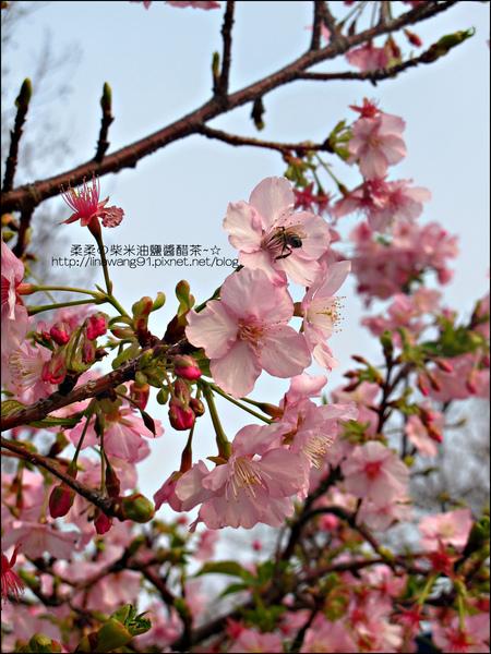 2011-0223-新竹公園-賞櫻花 (11).jpg
