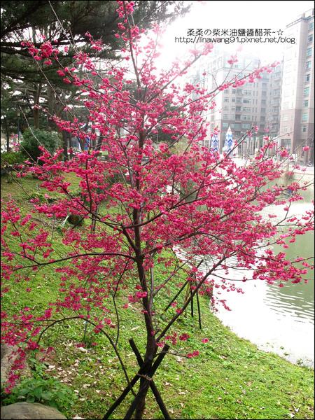 2011-0223-新竹公園-賞櫻花 (13).jpg