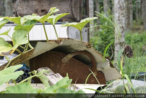 990812-南投魚池-大雁村-森林紅茶- (43)