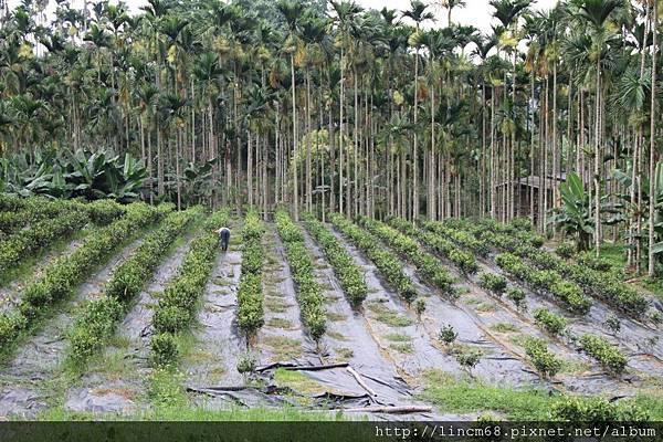 990812-南投魚池-大雁村-森林紅茶- 073