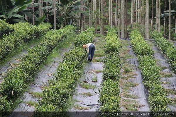 990812-南投魚池-大雁村-森林紅茶- 074