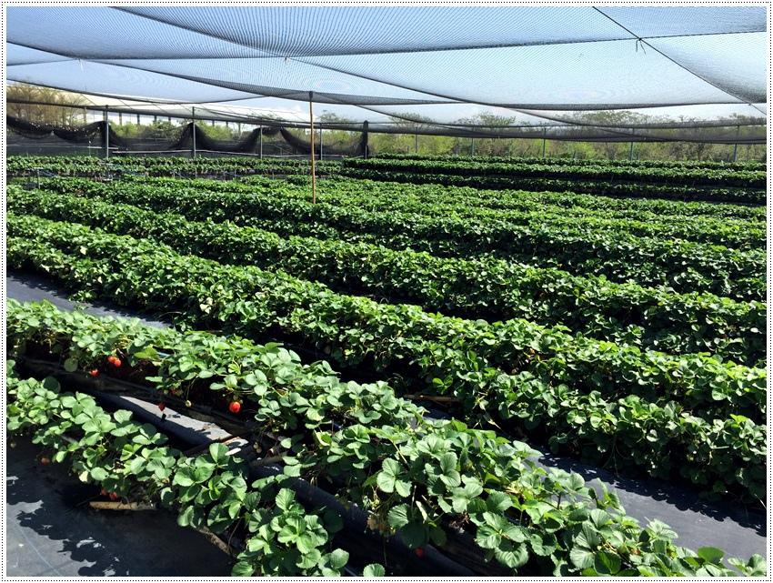 台南美食-南科觀光草莓園-親子農場