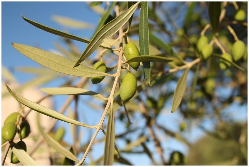 太極計畫橄欖油與健康特級初榨橄欖油美味的健康食品