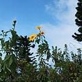 山頂的向日葵與天空。