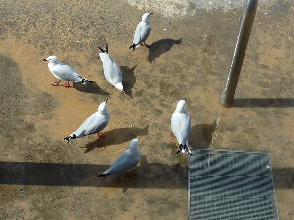 海鳥在喝水.JPG