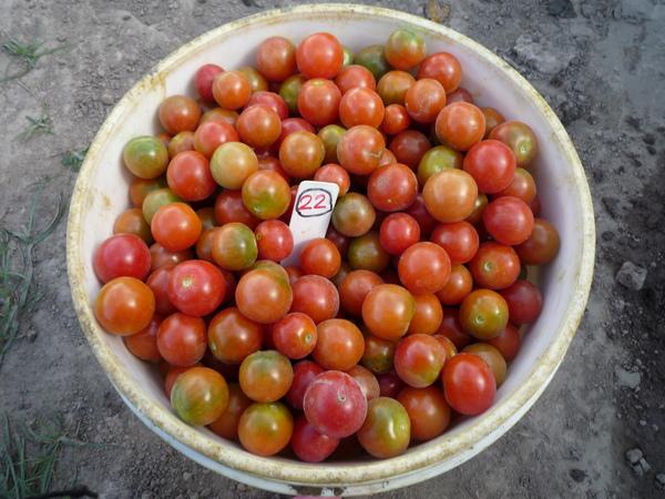 又愛又恨的番茄~~.JPG