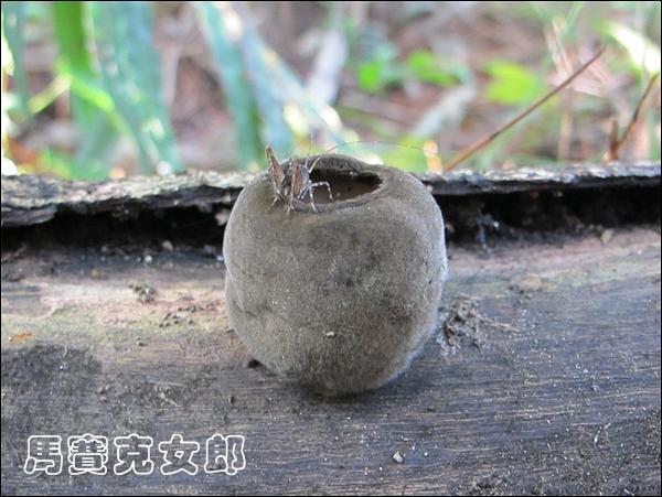 爪哇肉盤菌