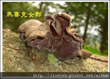 wood-ear_04.jpg