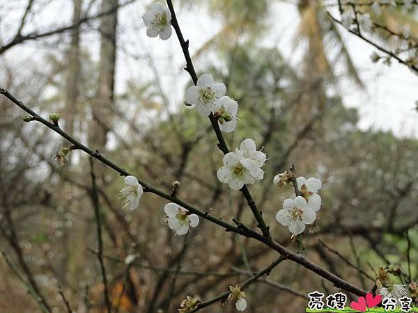 到梅山公園賞梅花,梅花盛開了唷!!