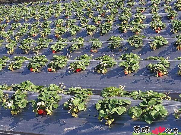 假日來關西採草莓