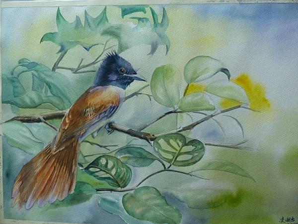 亞洲綬帶鳥─水彩畫 Arches水彩紙 56cmx38cm
