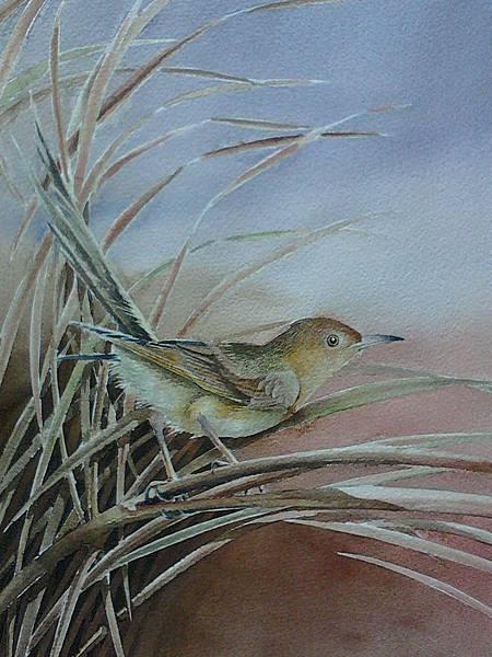 芒草裡的小飛俠─褐頭鷦鶯 水彩畫 Arches 水彩紙 56cmx38cm