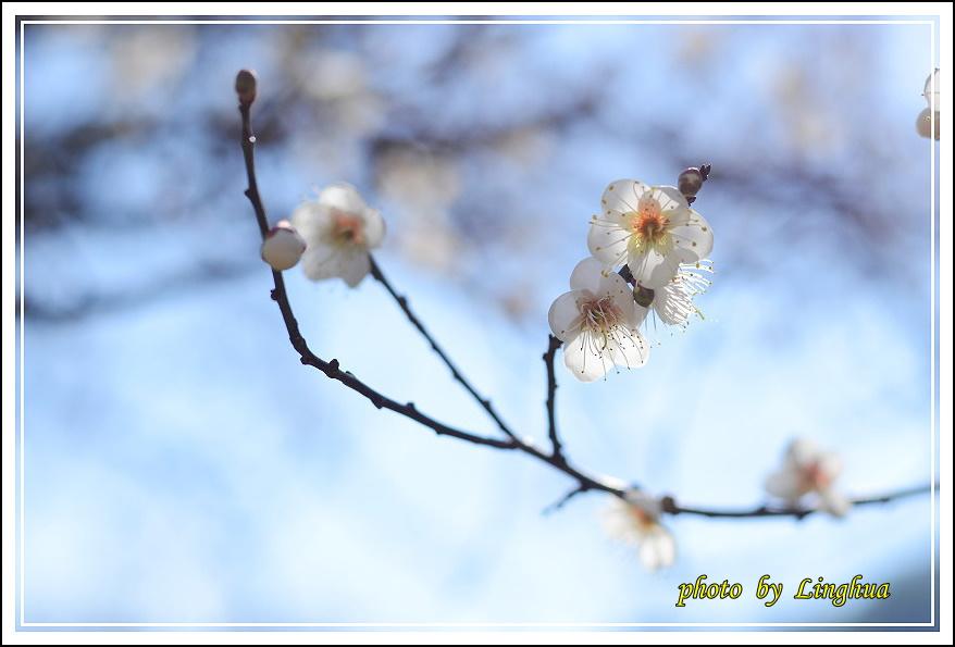 2015柳家梅園(21).JPG