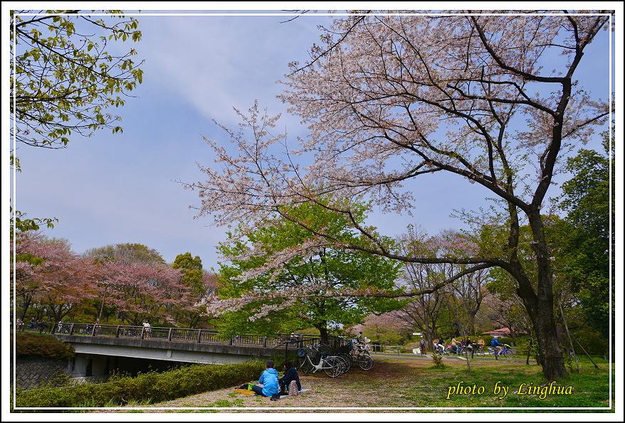 昭和公園2 Sakurahana(1).JPG
