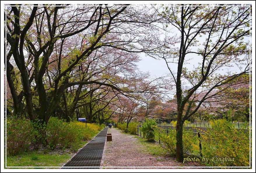 昭和公園2 Sakurahana(2).JPG