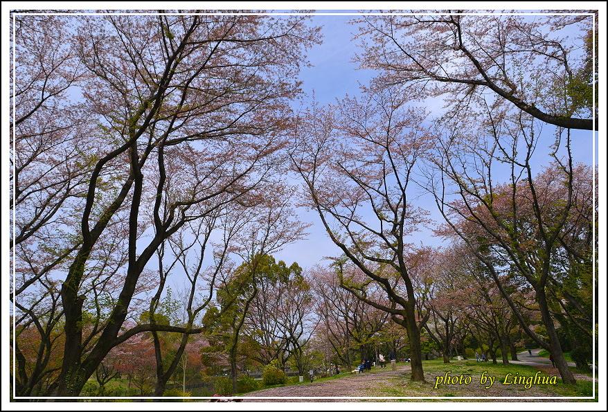 昭和公園2 Sakurahana(3).JPG