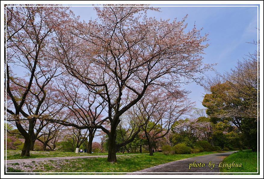 昭和公園2 Sakurahana(4).JPG