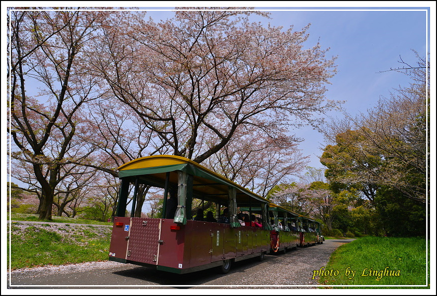 昭和公園2 Sakurahana(5).JPG