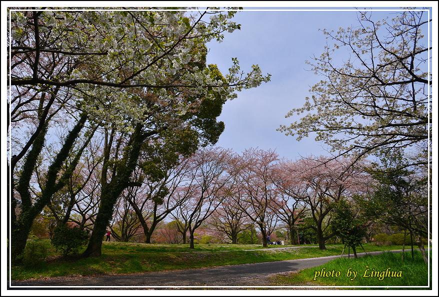 昭和公園2 Sakurahana(6).JPG