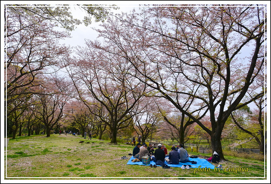 昭和公園2 Sakurahana(8).JPG