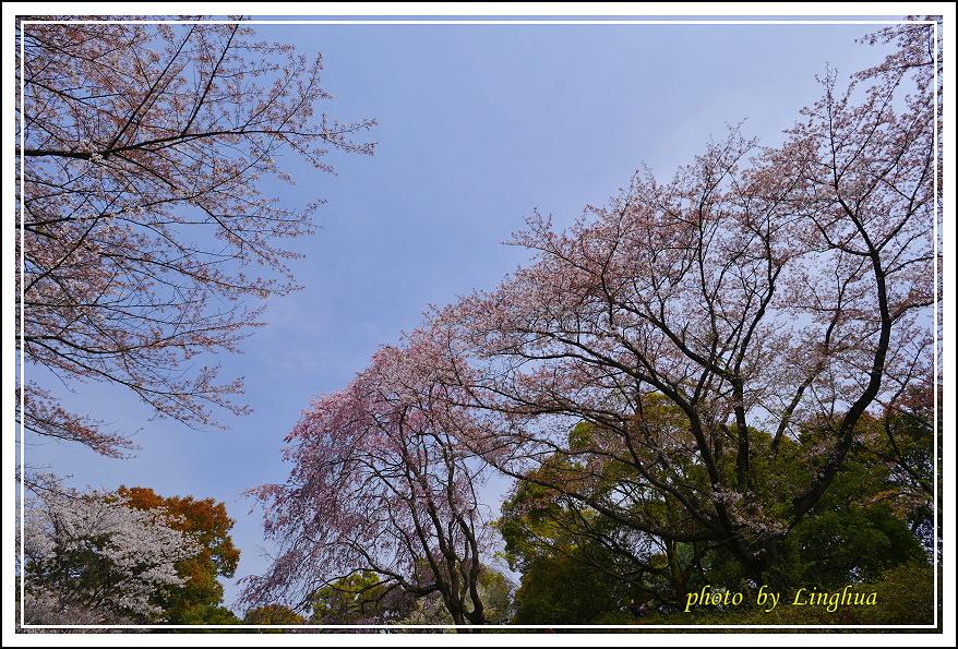 昭和公園2 Sakurahana(9).JPG