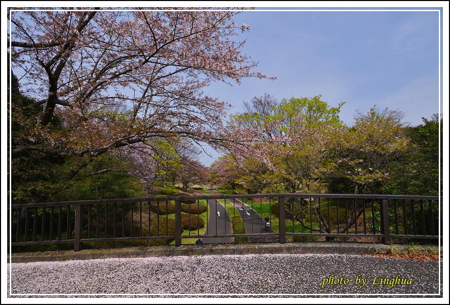 昭和公園2 Sakurahana(11).JPG