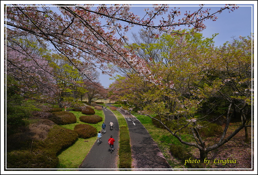 昭和公園2 Sakurahana(12).JPG