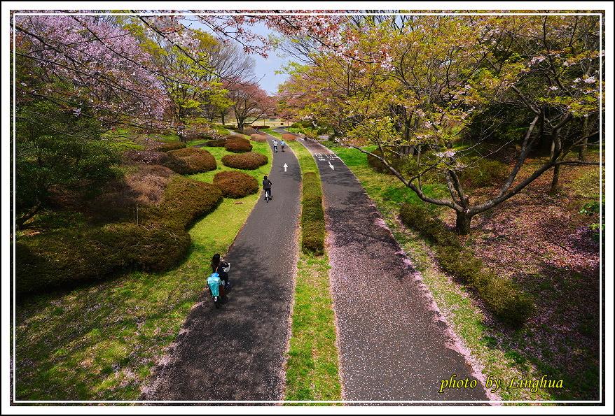 昭和公園2 Sakurahana(13).JPG