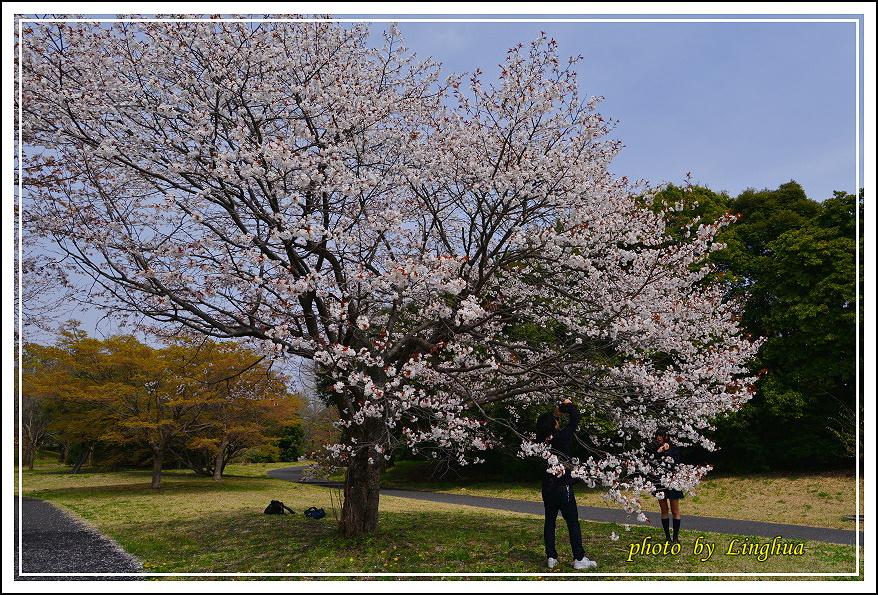 昭和公園2 Sakurahana(14).JPG