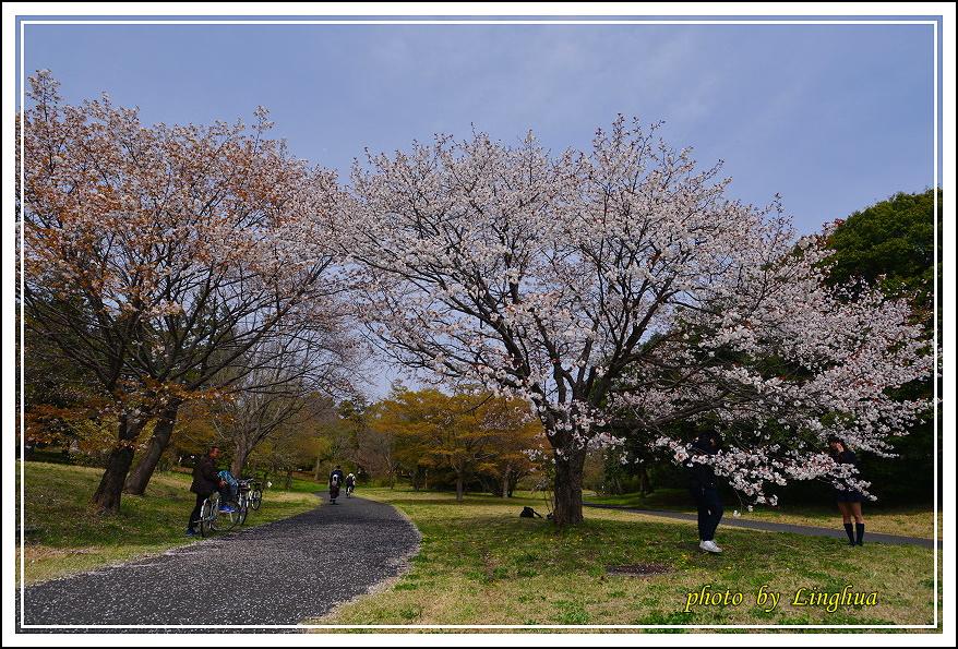 昭和公園2 Sakurahana(15).JPG