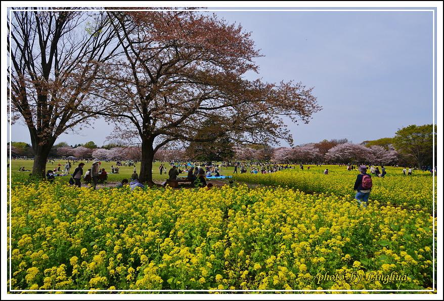 昭和公園2 Sakurahana(19).JPG